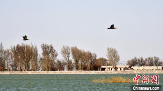 野鸭在湖面飞跃。 邓晓旭 摄