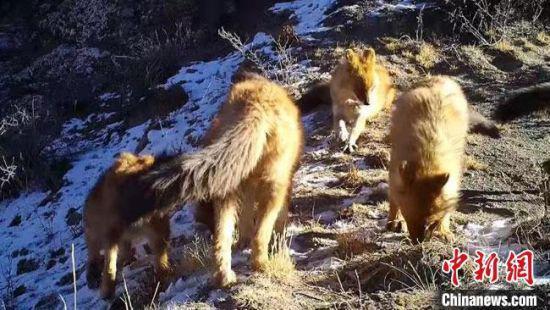"""今年2月份,由国家林草局和农业农村部调整发布的《国家重点保护野生动物名录》中,将""""豺""""的保护等级由国家二级提到了国家一级。肃北县委宣传部供图"""