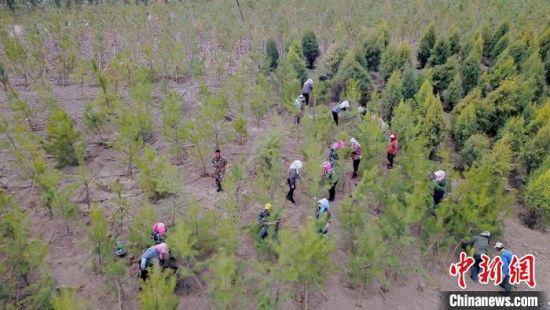 工人们正在忙碌进行栽植、扶苗等程序,在这里,万亩长青生态林正在悄然形成。 高展 摄