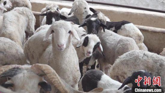 """在甘肃临夏州东乡县,广泛流传着""""无羊不成家""""的说法。图为东乡族民众饲养的羊儿。(资料图) 受访者供图"""