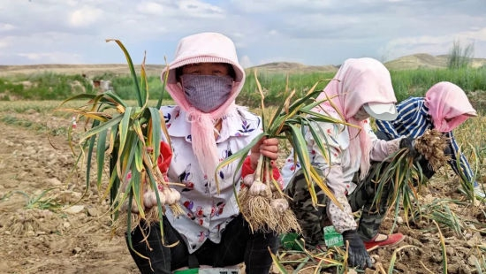 近日,甘肃省张掖市民乐县的农户们沉浸在收获三万亩紫皮大蒜的喜悦之中 民乐县宣传部供图