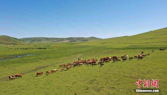 岷县近百万亩湿地草原牛羊成群马儿跑