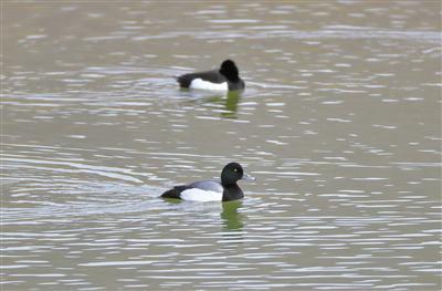 斑背潜鸭(首次记录到)