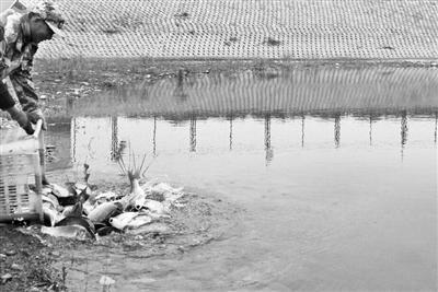 相天栋向水池投放鱼苗。