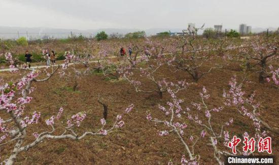 每年四五月,兰州安宁堡的桃花绽放于西北黄土地上,与南方的桃花园相比另有意境。(资料图) 杨艳敏 摄