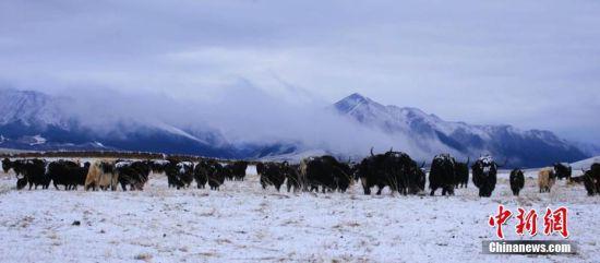图为牛群在草场上行走觅食。王超 摄