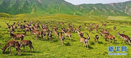 成群的马鹿在觅食。新华网发 (安维斌 摄)