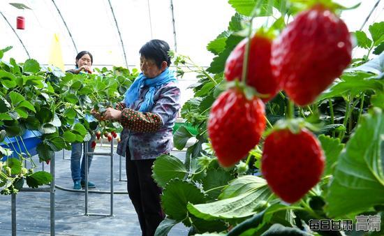 种植户正在无土栽培草莓大棚内给草莓疏果。