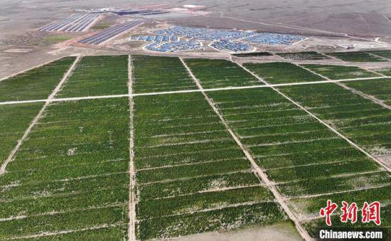2020年,天祝县共种植藜麦11.6万亩,已占全国种植面积1/3。