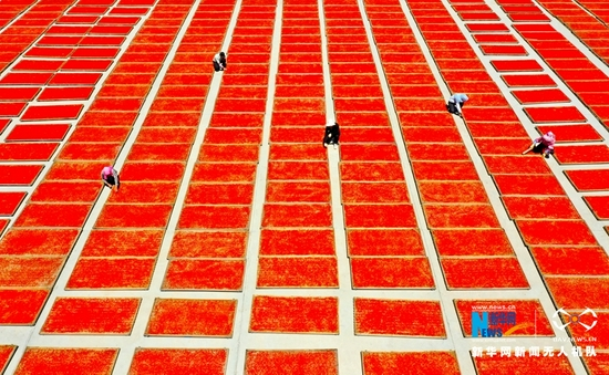 这是近日在甘肃省张掖市甘州区安阳乡苗家堡村航拍的成片晾晒的成熟枸杞。新华网发 (王将 摄)