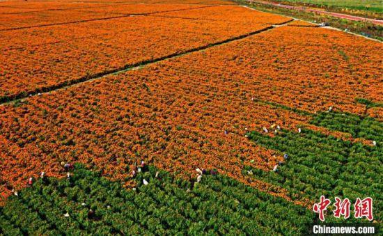 9月2日,采摘万寿菊的农民点缀在缤纷的花海,构成了一幅五彩画卷。 赵琳 摄