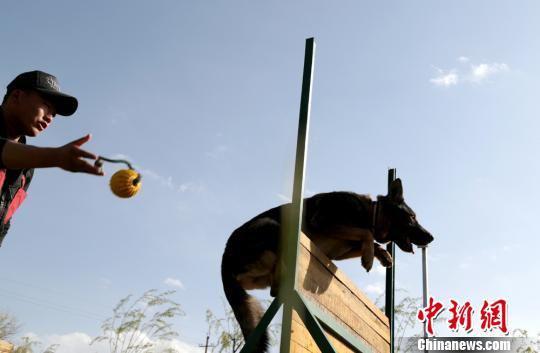 图为训练犬只穿越障碍。 郑兵 摄