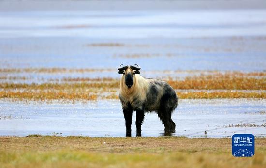 甘肃尕海则岔国家级自然保护区管理局尕海保护站工作人员在尕海湖畔拍摄到一头羚牛。新华社发(张勇摄)