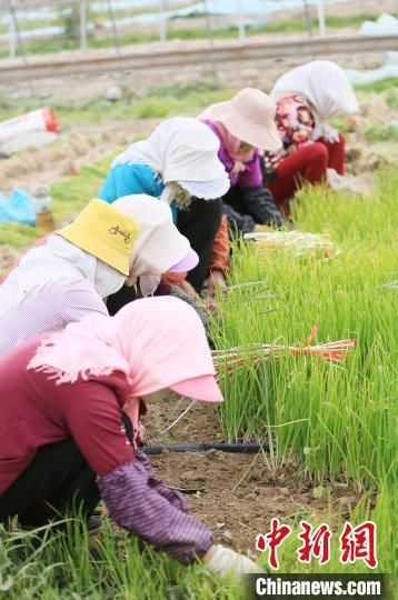 图为甘肃张掖现代戈壁农业产业园区,农户在收洋葱苗。(资料图) 高展  摄