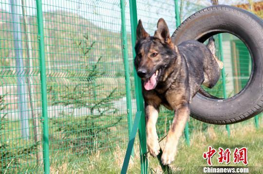 图为接受训练的牧羊犬。 郑兵 摄