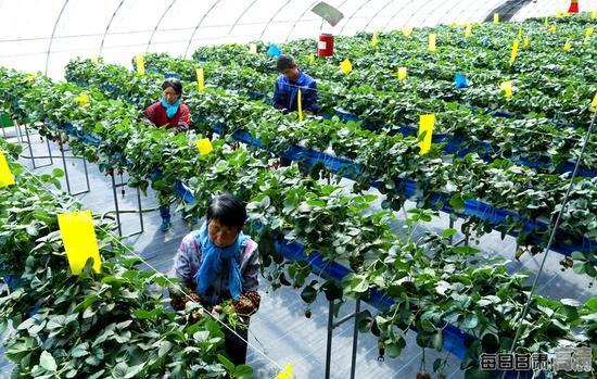 甘肃山丹县戈壁农业示范区内,种植户正在无土栽培草莓大棚内给草莓减苗。