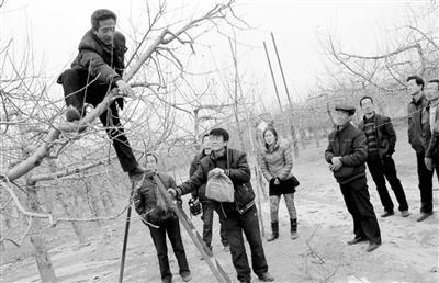 爬上果树,为果农修剪。