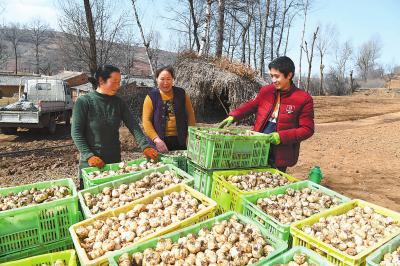 村民张云财(右一)家的百合年收入达到4万元以上。