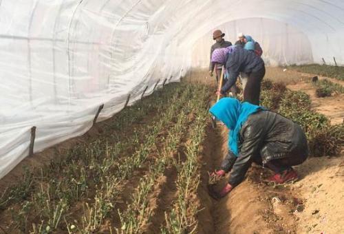 资料图。甘肃临洮县打造田园综合体,冬闲时节当地农民在家门口上班。图为农民正在大棚里育苗。张婧 摄