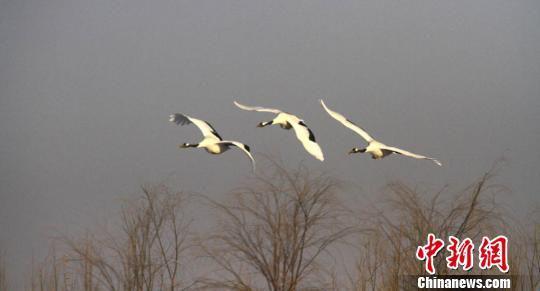 图为飞翔的丹顶鹤。 陈礼 摄