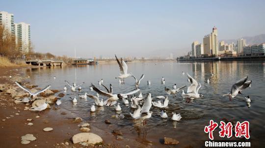 图为黄河岸边成群的候鸟。 侯奇志 摄