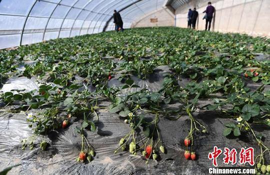 图为村里的草莓大棚。 杨艳敏 摄