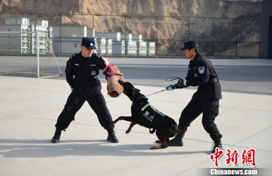 训导员每天工作时间几乎都与警犬在一起,从早上带犬游散、排便开始一整天的工作,目前开设服从、追击扑咬、室内搜捕、障碍练习等科目。图为追击扑咬项目的训练现场。 徐晓君 摄