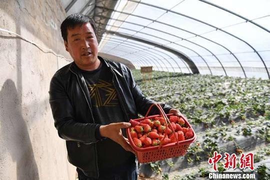 图为春节后,甘肃宕昌哈达铺镇玉岗村草莓大棚新丰收的草莓。 杨艳敏 摄