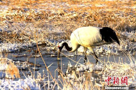 图为丹顶鹤在水中觅食。 陈礼 摄