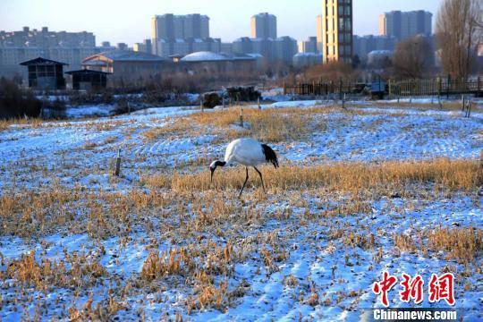图为一只丹顶鹤在雪地觅食。 陈礼 摄