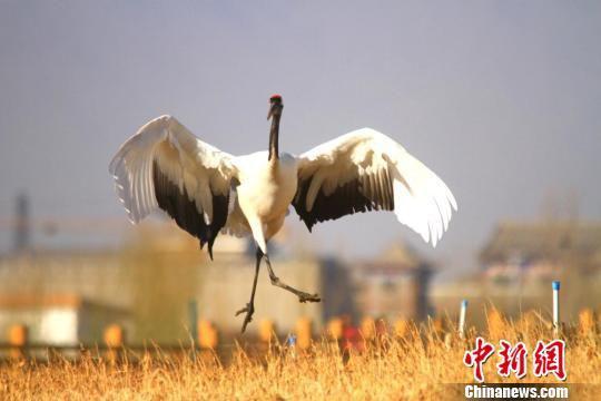 图为丹顶鹤翩翩起舞。 陈礼 摄