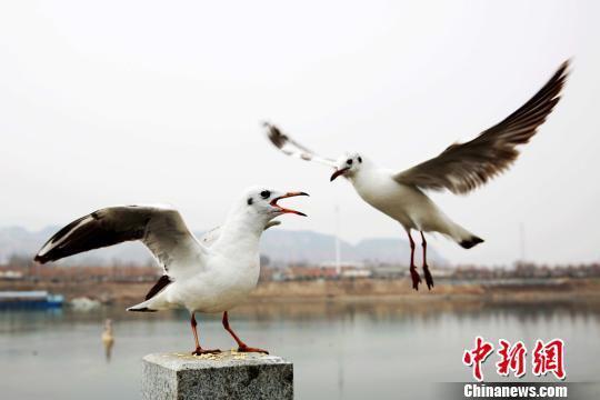 图为停歇觅食的候鸟。 郭红 摄