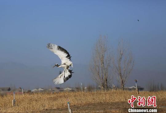3月8日,一只丹顶鹤在甘肃张掖国家湿地公园翩翩起舞。 陈礼 摄