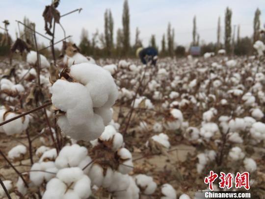 资料图:甘肃敦煌市的节水棉花种植。 刘薛梅 摄