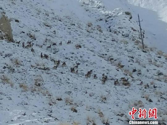 图为手机拍摄到的岩羊活动场景。阿克塞县委宣传部供图