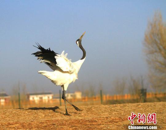 """图为一只丹顶鹤在春日的暖阳里""""引吭高歌""""。 陈礼 摄"""
