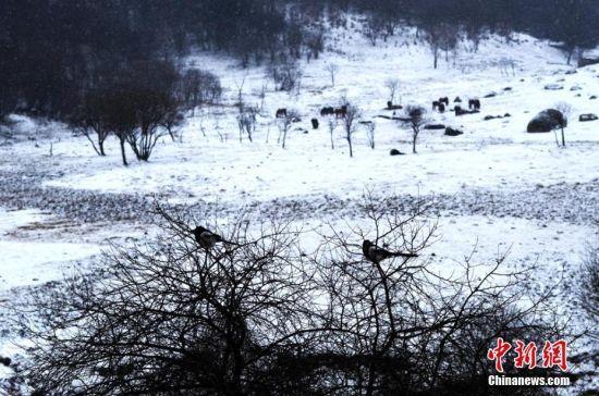雪中,一群寻觅好心情的鸟雀停留在枝头。窦苗苗 摄