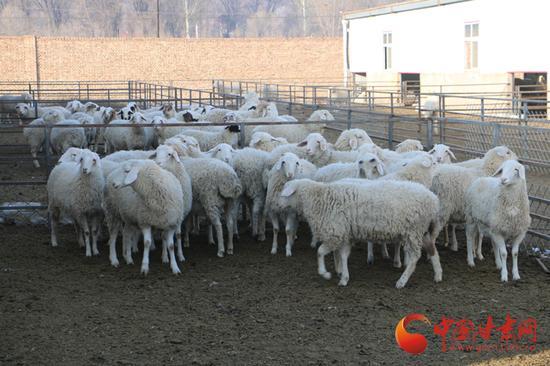 广河县一公司的羊场