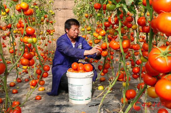 2月5日,临泽县倪家营镇温室种植户正在采摘西红柿。春节临近,临泽县日光温室内种植的各类反季节蔬菜走俏市场。通讯员 杜学沂 摄