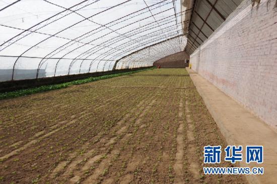 丰苗合作社种植的上海青幼苗