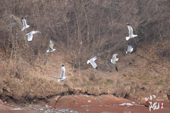 除了环境改善外,兰州市民对鸟类的保护也是鸟类喜爱这里的原因之一。