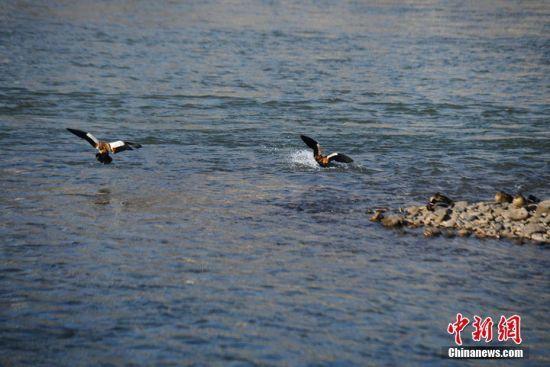 黄河中的斑头雁。杨艳敏 摄