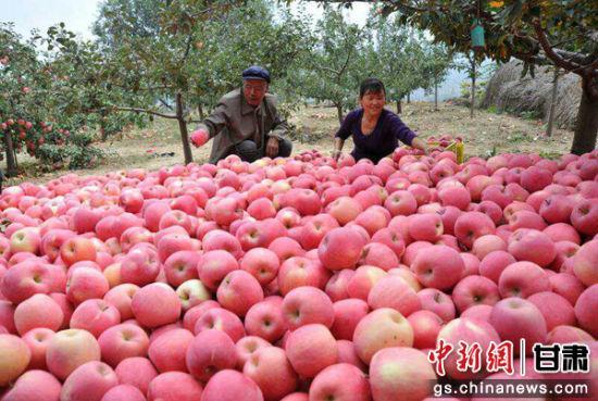 资料图:苹果丰收季,清水县果农们忙碌在果园里。钟欣 摄。