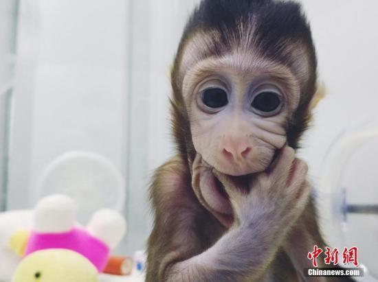 图为体细胞克隆猴。 图片来源:中科院神经所供图