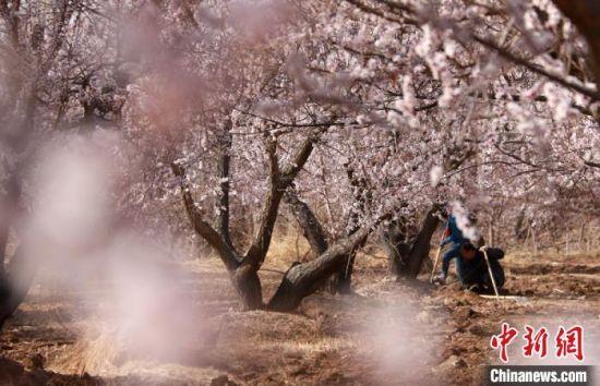 图为敦煌市月牙泉镇月牙泉村农民在杏树下。