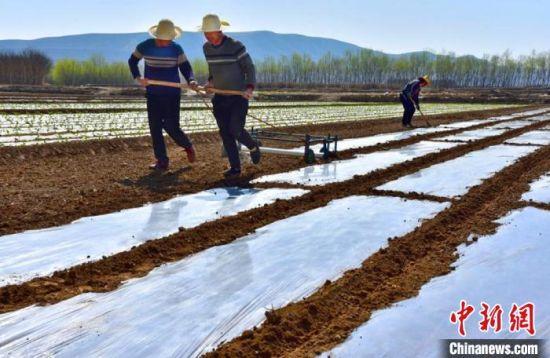 图为农户铺设地膜。