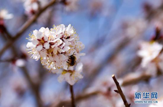 杏花盛开惹蜂来。