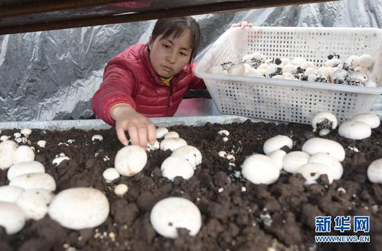 1月27日,工人在甘肃省临夏回族自治州临夏县先锋乡一食用菌产业园温棚里采收双孢菇。新华社发(史有东 摄)