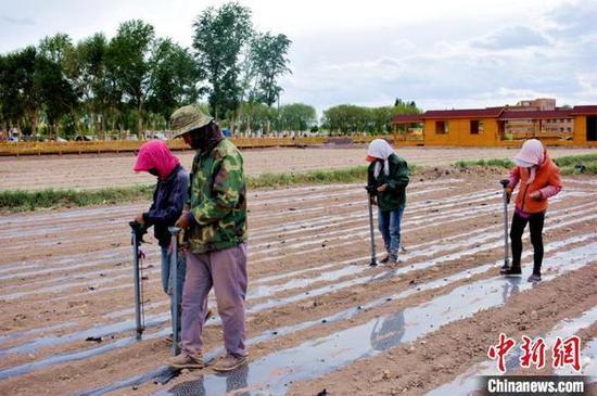 瓜州县农户在福禄花田种植制种花卉。