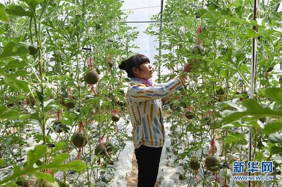 2020年4月9日,在古浪县黄花滩生态移民区富民新村,村民李贵兰在自家的日光温室大棚中忙碌。新华社记者 范培珅 摄